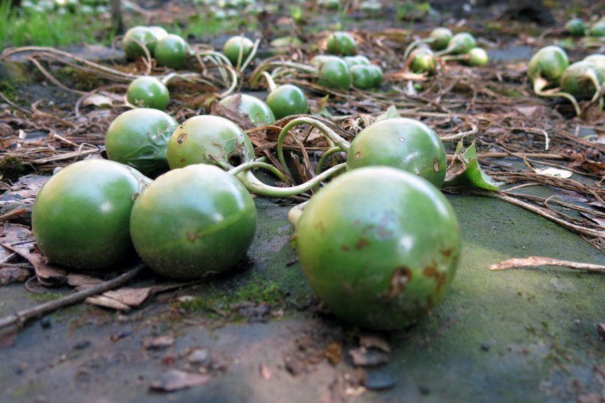 Plody mandragory.