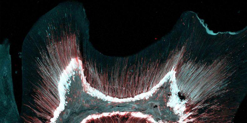 Snímek myšího moláru z geneticky upravených myší.