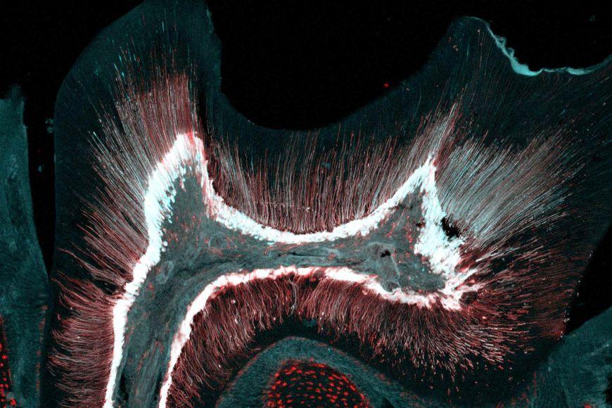 Základem Křivánkovy práce byla charakterizace rozdílných typů buněk vzubu.
