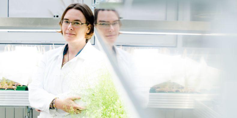Helene Robert Boisivon náhodou zpozorovala, že se v mateřské tkáni aktivují geny, které jsou zodpovědné za tvorbu auxinu.