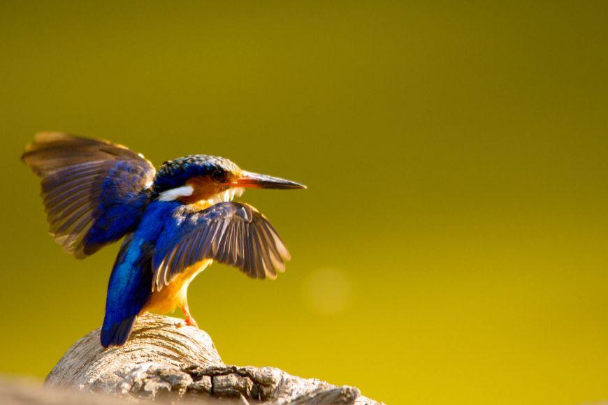 Madagascar Pygmy-Kingfisher.