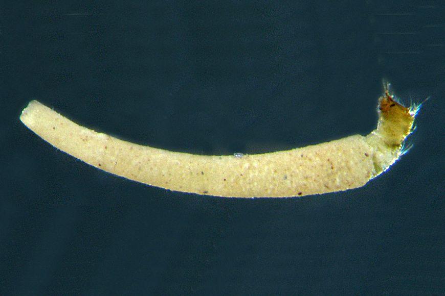 Larva pakomára rodu Neostempellina si staví přenosné kónické trubičky zjemných zrníček písku apěnovce. Druh je nový pro Českou republiku.