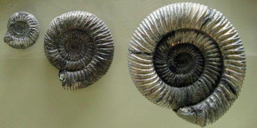 Vzorky vyhynulých hlavonožců - amonitů.