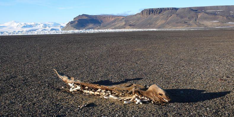 Rozpadající se mumie tuleně krabožravého nedaleko zátoky Brandy Bay v severní části ostrova Jamese Rosse.