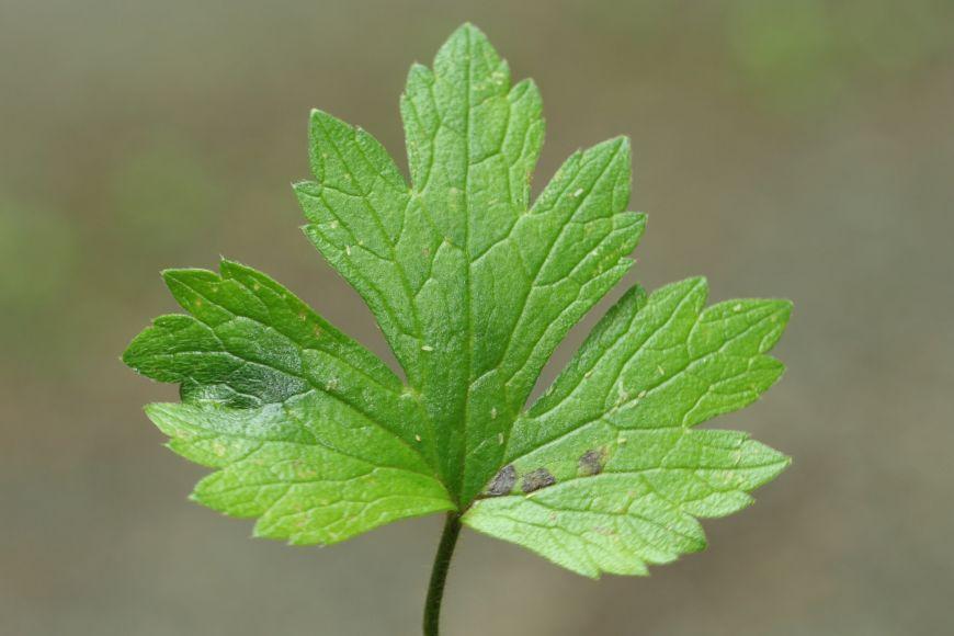 Ranunculus nemorosus DC. (pryskyřník hajní).