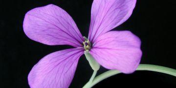 Jedna z rostlin patřících mezi příbuzné pěstovaných brukví - Rytidocarpus moricandioides.