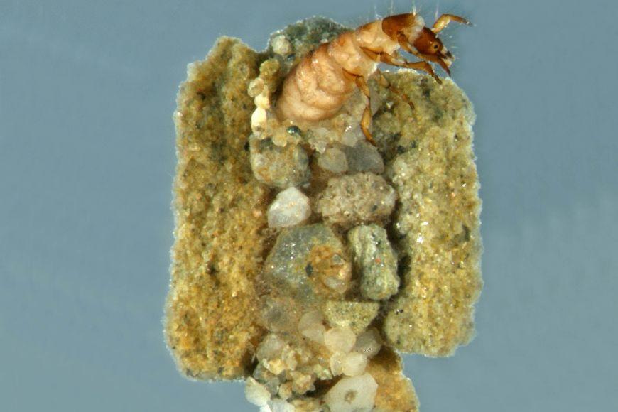 Chrostíci druhu Synagapetus dubitans si staví přenosné kamenité schránky, tato je 7,5 milimetrů velká.