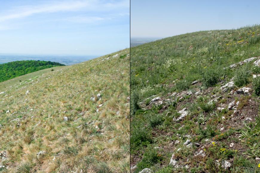 Skalní step na vrcholu Děvín na Pálavě vroce 2012 (vlevo), kdy zde převládala trsnatá stepní tráva kostřava walliská, avroce 2018 (vpravo), kdy po sérii suchých let začínajících rokem 2015 došlo kústupu vytrvalých stepních rostlin ajejich náhradě krátkověkými druhy, znichž mnohé jsou typické spíš pro narušovaná místa ve městech avesnicích.