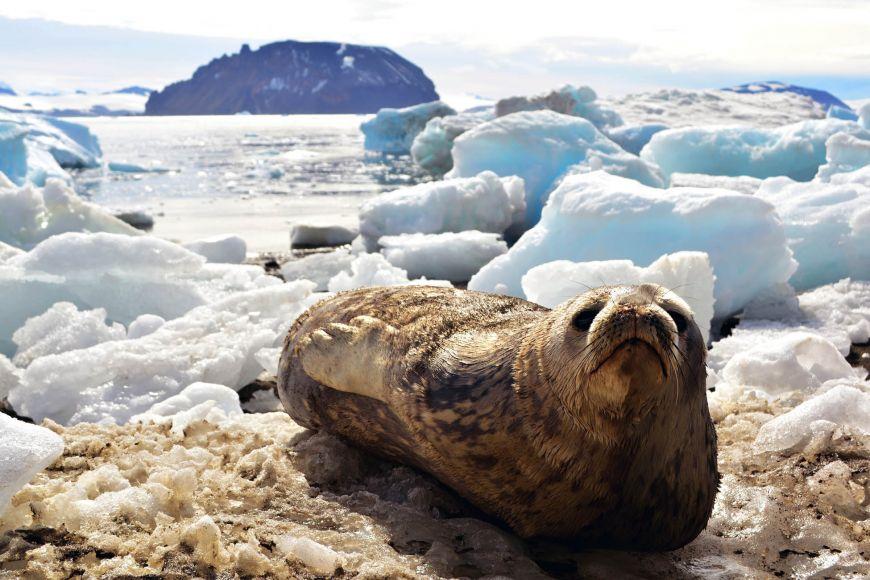 Tuleni jsou vAntarktidě na vrcholu potravního řetězce.