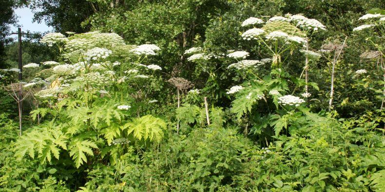 Jedna z nejznámější invazních rostlin rozšířených v Česku, bolševník velkolepý.