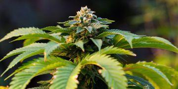Cannabis sativa.