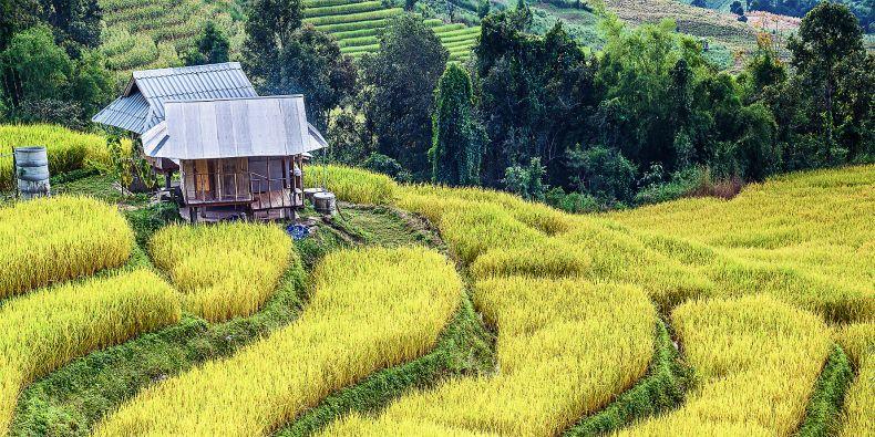 Zlatá rýže.