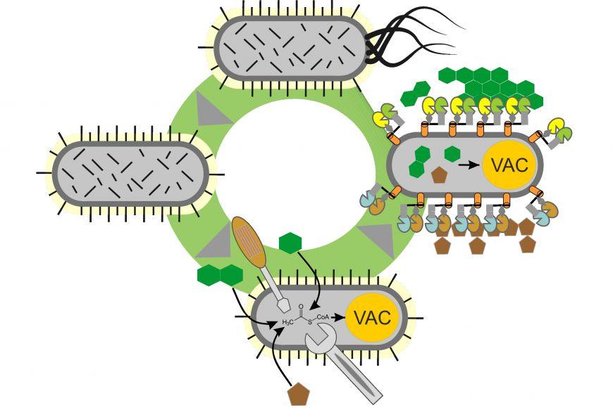 Grafika ilustruje, co sPseudomonádou vědci dělají. Upravují její interiér (metabolismus) metodami metabolického inženýrství iexteriér (ovlivňují, jaké enzymy buňka vynáší na svůj povrch) scílem efektivněji přeměňovat komplexní substráty, jako je odpadní rostlinná biomasa na bioprodukty (VAC = value added chemicals, tj. látky spřidanou hodnotou).