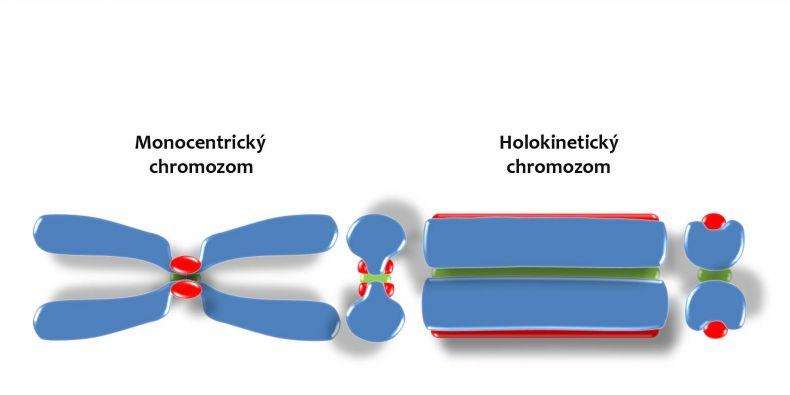 Dva typy chromozomů v organismech.