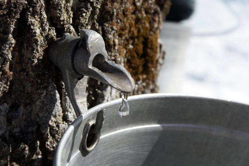Buňky jehličnatých stromů jsou plné rostlinné šťávy svysokou koncentrací cukru. Chrání je to před zimou auž indiáni věděli, že se ztoho dá udělat výborný sirup.