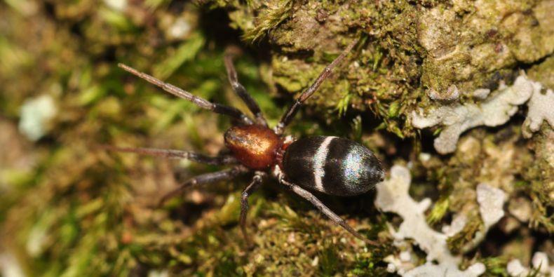 Samice druhu Micaria sociabilis.