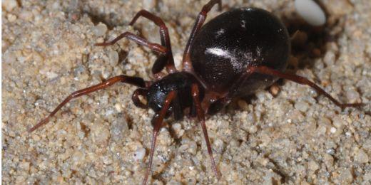 Kromě toho, že pavouk mravčík skalní imituje podobu mravence, používá také zvláštní způsob krytí, když ho uloví. Nese si totiž jeho mrtvé tělo před sebou. Foto: Stanislav Pekár.