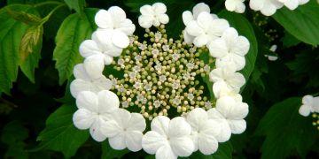 Obr. 1. U kaliny obecné (Viburnum opulus) jsou květy nahloučeny v květenství a vytvářejí tak nápadnější útvar, tzv. biologický květ. Vnější květy jsou navíc nápadně zveličené, ale sterilní,  a slouží tak pravděpodobně jen k nalákání hmyzu.