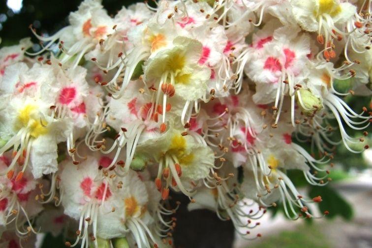 Obr. 3.Různě barevné květy pravděpodobně slouží jako semafory pro hmyz. Žluté, neopylené, ještě nabízejí nektar, červené nikoli. Na obrázku jsou květy jírovce maďalu (Aesculus hippocastanum), známého spíše pod jménem koňský kaštan.