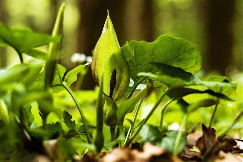 """Obr. 6.Árón plamatý (Arum maculatum) je příkladem věznitele. Drobné mušky nalákané """"vůní"""" mršiny zůstávají uvězněny na dně zelenkavého toulce, dokud květ není opylen."""