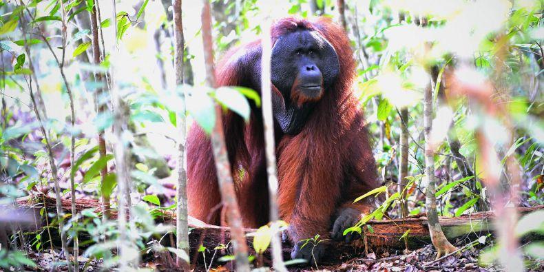 Orngutan v džungli na indonéském ostrově Borneo.