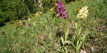 Orchideje v přírodní rezervaci Hutě na Žítkové v Bílých Karpatech.