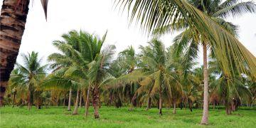 Kokosové palmy.