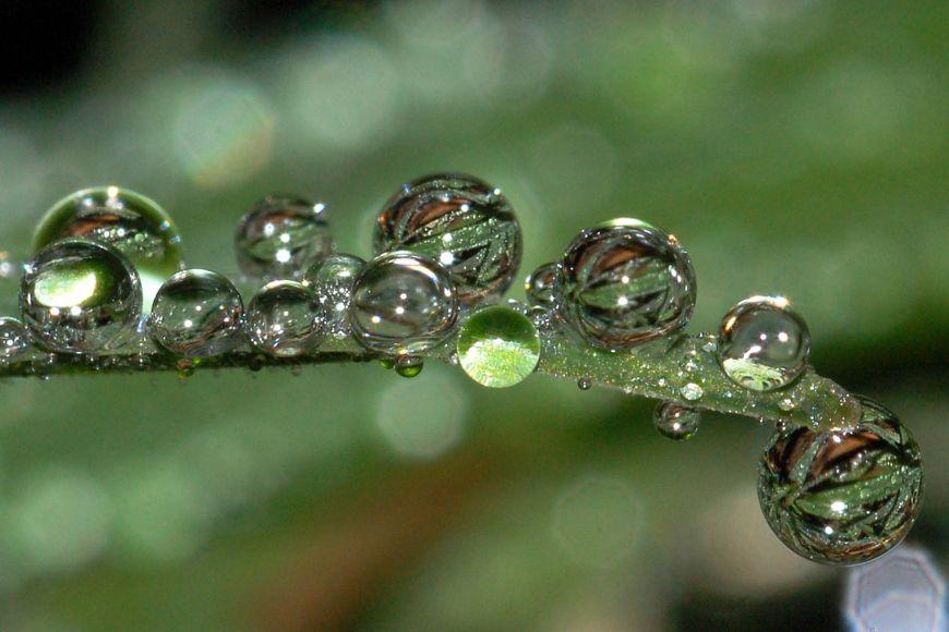 Kapky rosy na obilí. Protože jsou listy obilí vodou málo smáčivé, kapky se po nich nerozlévají, ale díky povrchovému napětí zaujmou téměř kulový tvar.