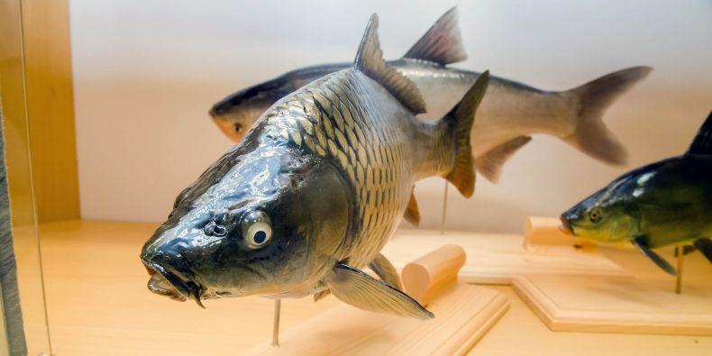 Kapr obecný, lín obecný (vpravo) a tolstolobik bílý (vzadu) ze sklolaminátu. Ve sbírce nahrazují modely klasické vycapniny ryb.
