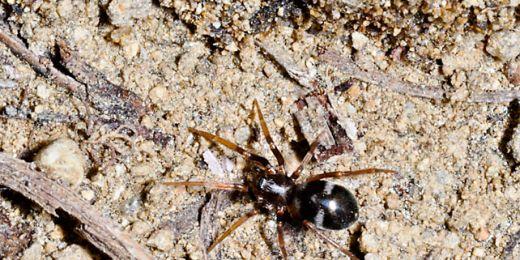 Pavouka rodu Phrurolithus příroda vybavila geniální nedokonalostí. Maskuje se jako mravenec, pořád ale vypadá i jako pavouk. Foto: Archiv Stano Pekára.