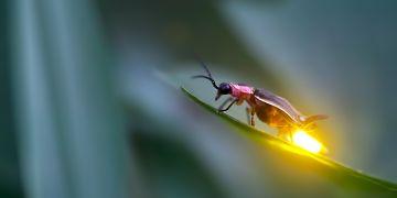 Samičky sice neumí létat, ale dokáží svítit mnohem intenzivněji než samečci.