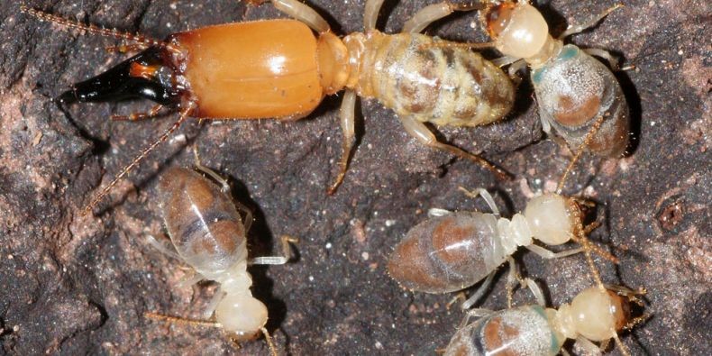 Termiti si vyvinuli sebevražedný aparát složený ze slinných žláz a bílkovinných krystalů. Jejich smícháním vzniká směs jedovatá pro nepřátele. Foto: R. Hanus.