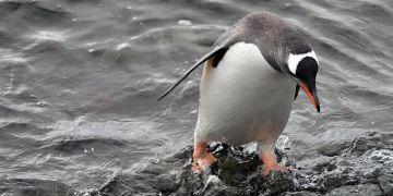 Tučňáků bylo letos kolem vědecké stanice J. G. Mendela poskrovnu.