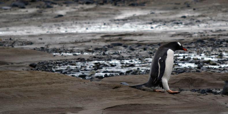 Nově budou letos odborníci odebírat vzroky krve tučňáků.