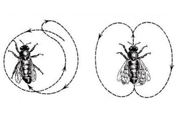 Nalevo: Včela předvádí kruhový tanec, kterým ostatní navádí knalezení blízkého zdroje potravy. Napravo: Vrtivým tancem udává směr avzdálenost naleziště potravy, které se nachází dále od úlu.