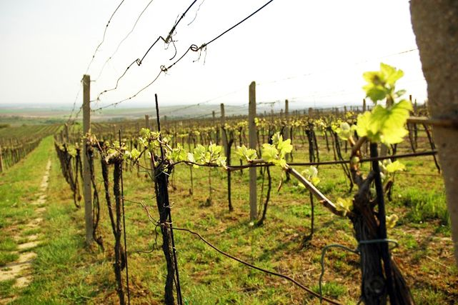You can admire the local cultural landscape dotted with vineyards.