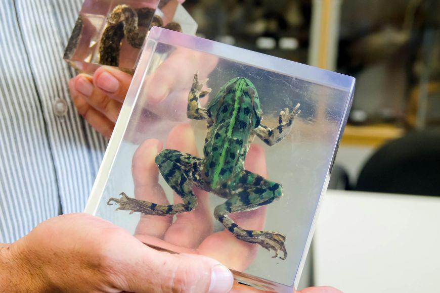 Zoologové zkoušejí nové metody, jak uchovat exempláře obratlovců. Zkoušejí je například zalít do pryskyřice.