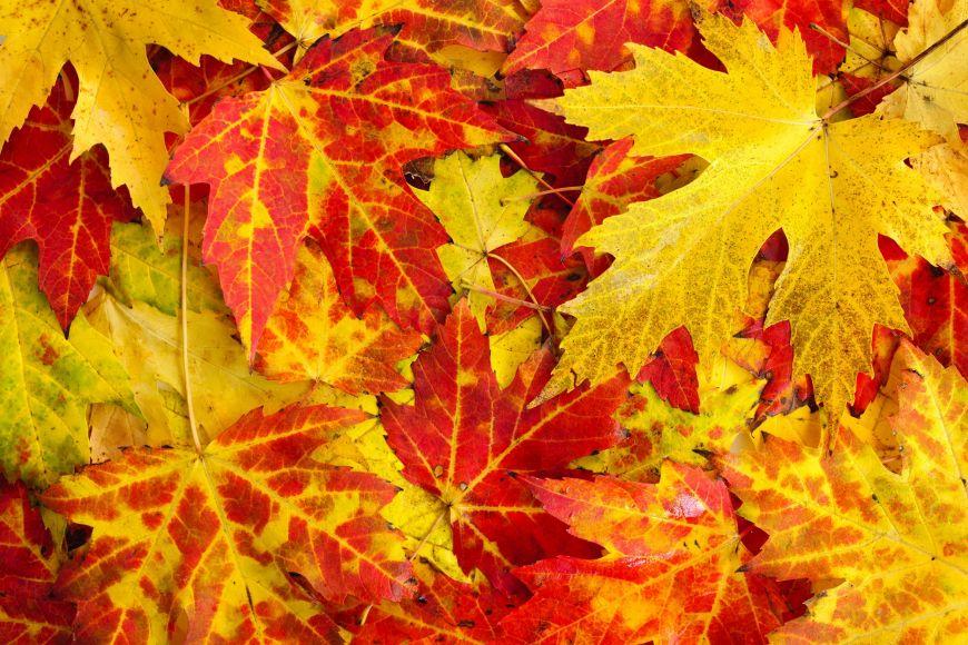Stromy postupně ze svých listů odbourávají rostlinné barvivo chlorofyl arecyklují svůj fotosyntetizující aparát.